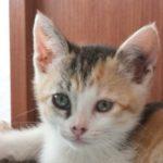 Cute Tortoishell Kitten