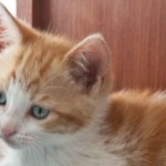 Cute Ginger Kitten