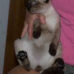 Cyrus & Milo Siam-mix Kittens