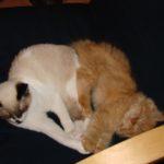 The Siam-mix Kitten Family