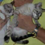 Saffron & Korma Siam-mix Kittens