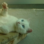 Blanca – A White Siam-mix Cat