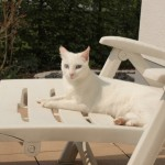 Blanca – A Beautiful Blue-eyed Cat