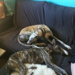 Exercising Your Galgo