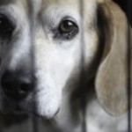 Keep Beagle Suffering out of Yorkshire