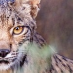 Fight to Protect the Most Endangered Cat