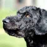 Marli The Pure  Breed Spanish Water Dog